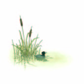 ATS-Coot by the reeds