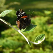 Red Admiral Butterfly Aug 2011 Susan